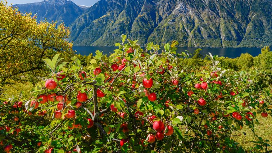 Apple gardens in Teletskoye Lake