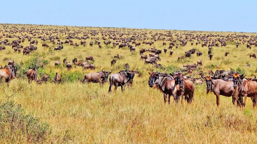 Wildebeests migration in Serengeti
