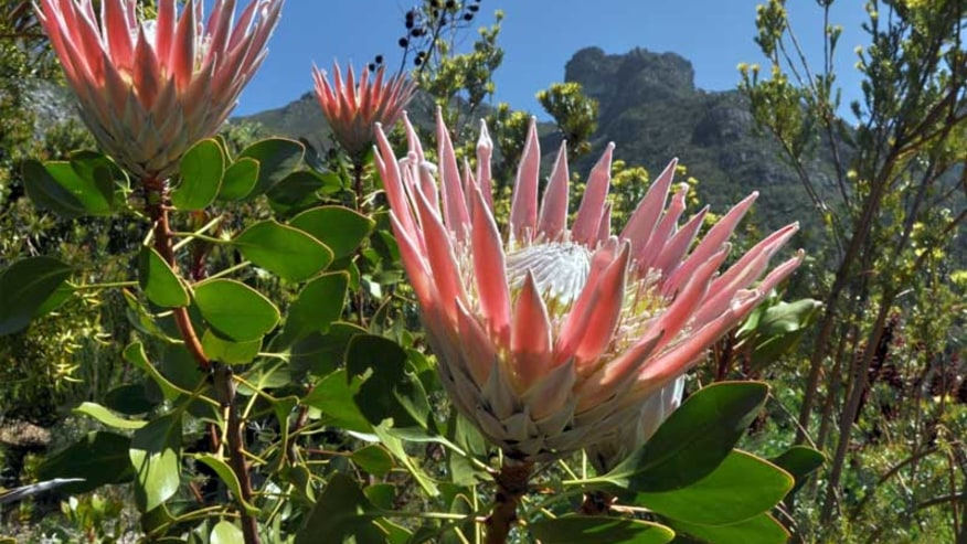 Royal Protea