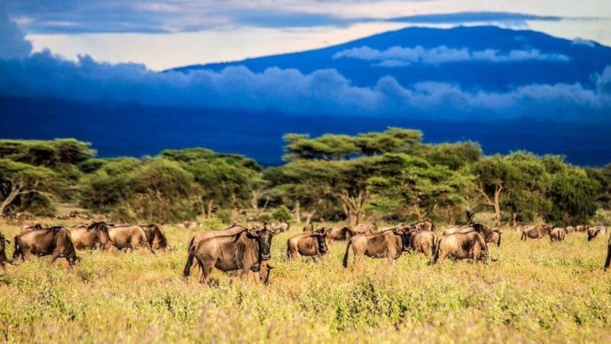 wildebeests in the wild