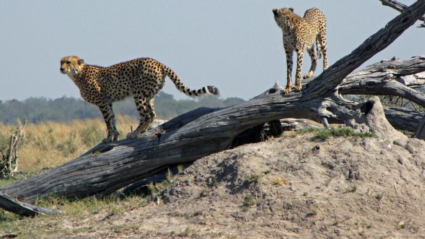 cheetahs in Chobe National Park
