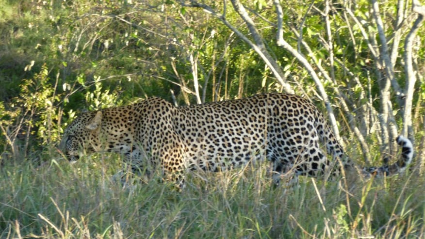 Elusive Leopard in Lake Nakuru National Park