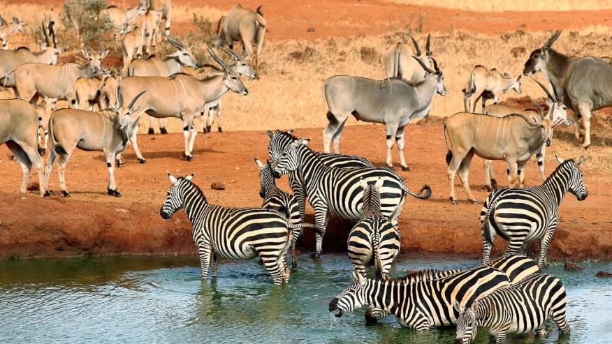 Olyx & Zebras