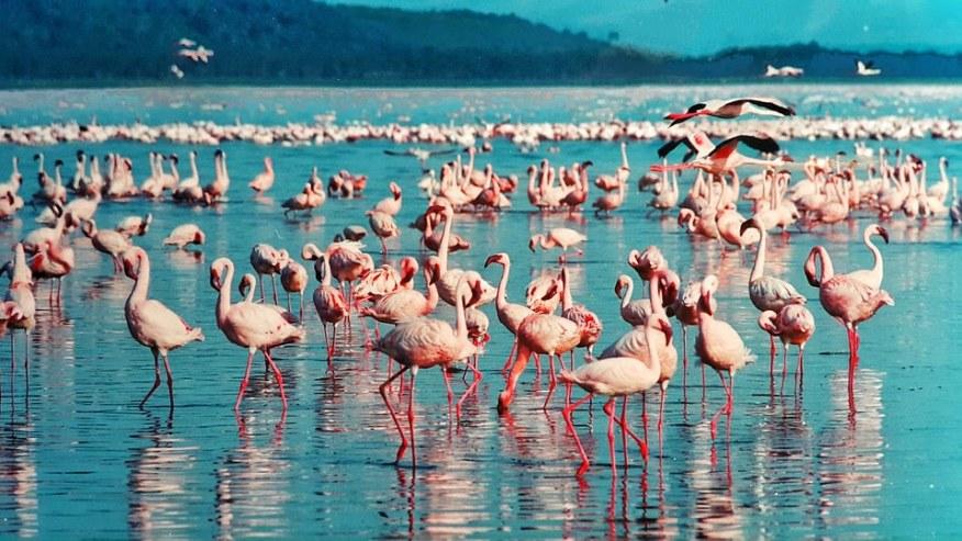 Flock of pink flamingoes