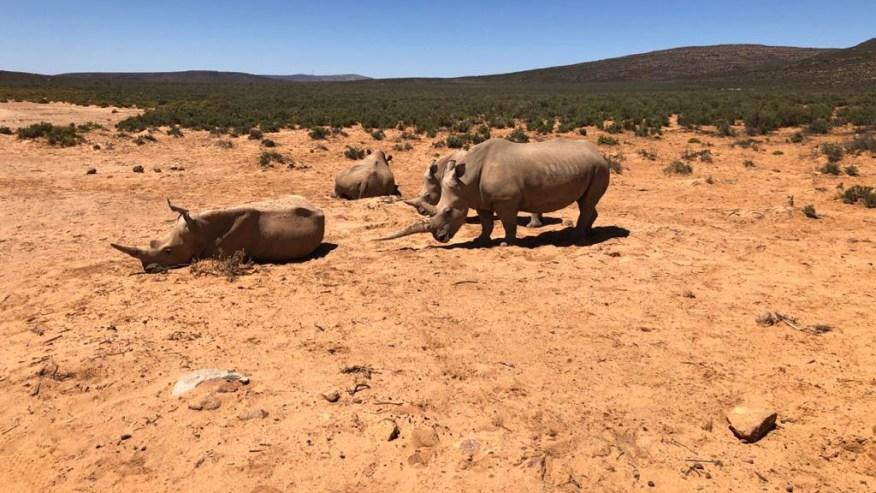 rhinos playing around