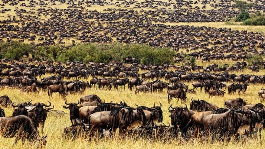 Wildebeests annual migration