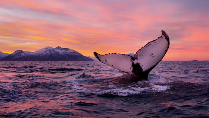 A whale breaching during a gorgeous Norwegian sunset