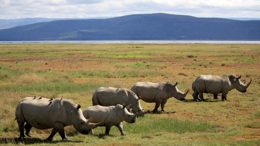 Rhinos at Lake Nakuru Park