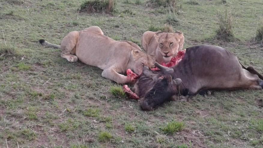 The Kill in Maasai Mara Game Reserve