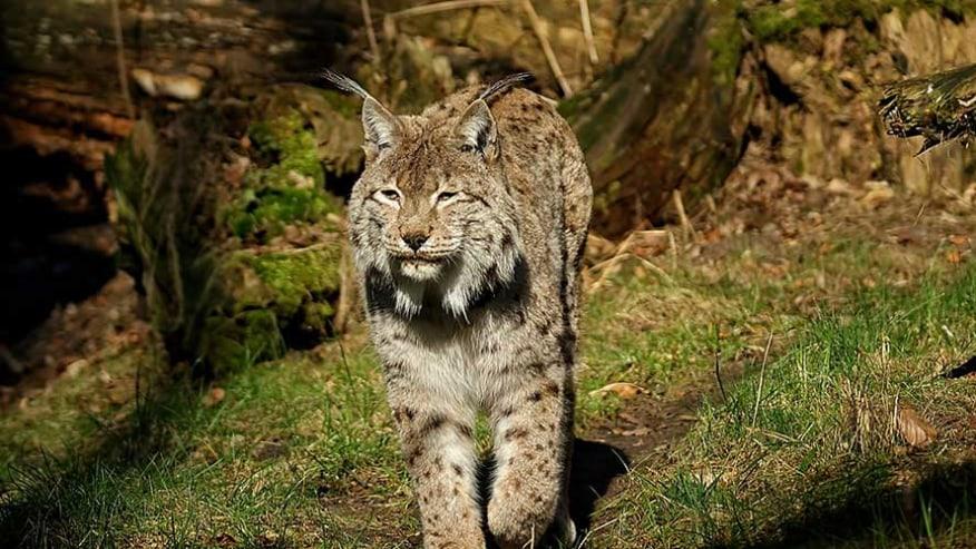 Balkanicus Lynx