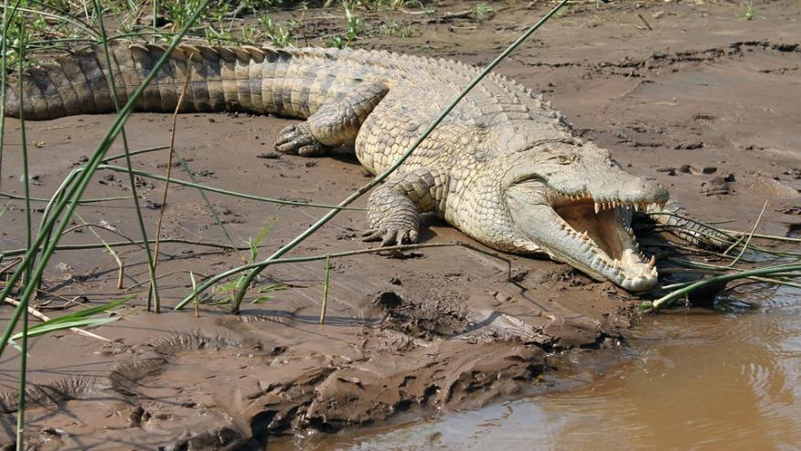 Crocodile on the banks of Lake Chamo