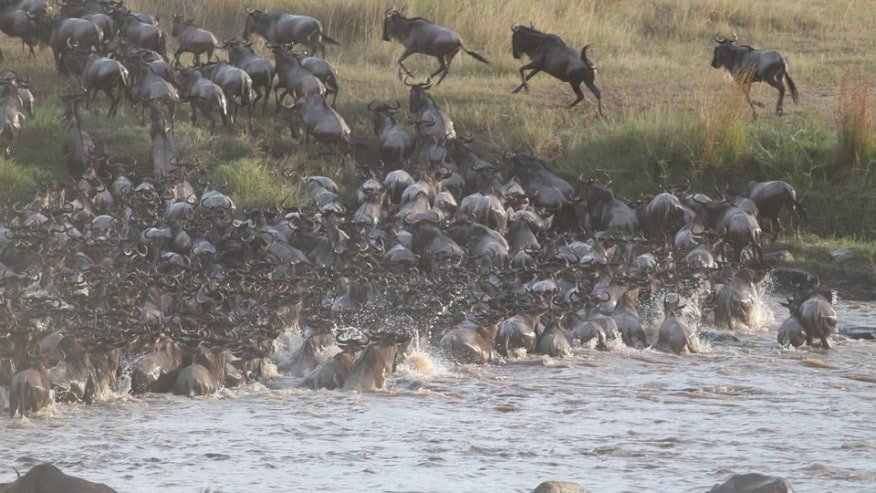 Wildebeest Migration in Masai Mara