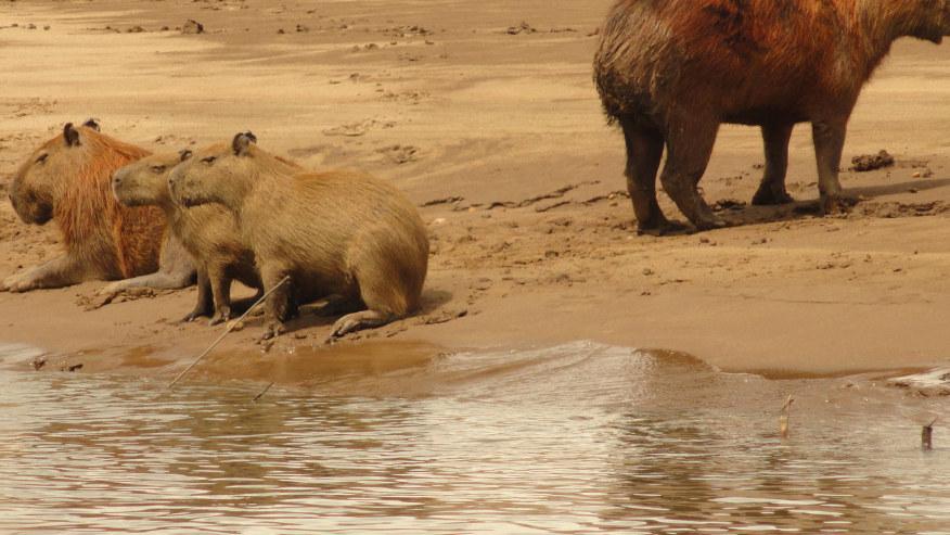 Capybaras along the Tambopata River