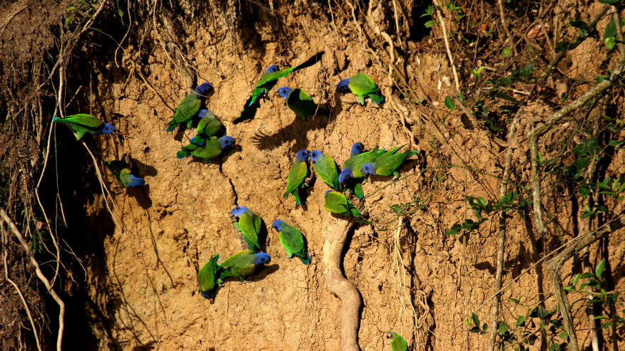 Blue-headed parrots at the clay lick Cachuela