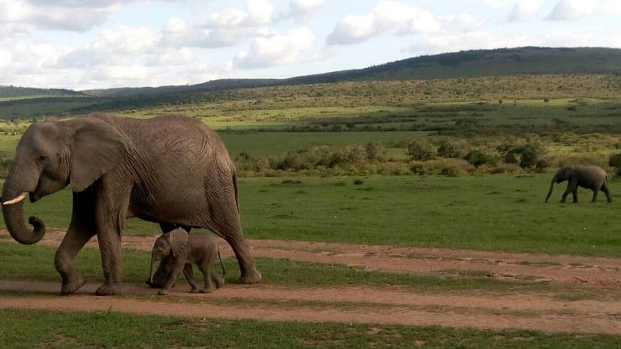 Watch as the elephants walk