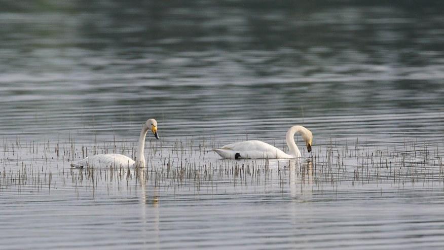 Swans around