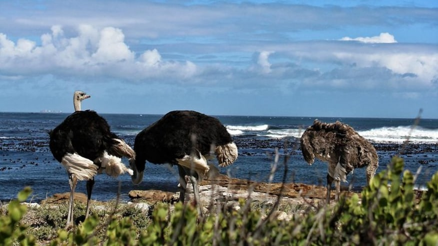 Ostriches at Cape of good hope