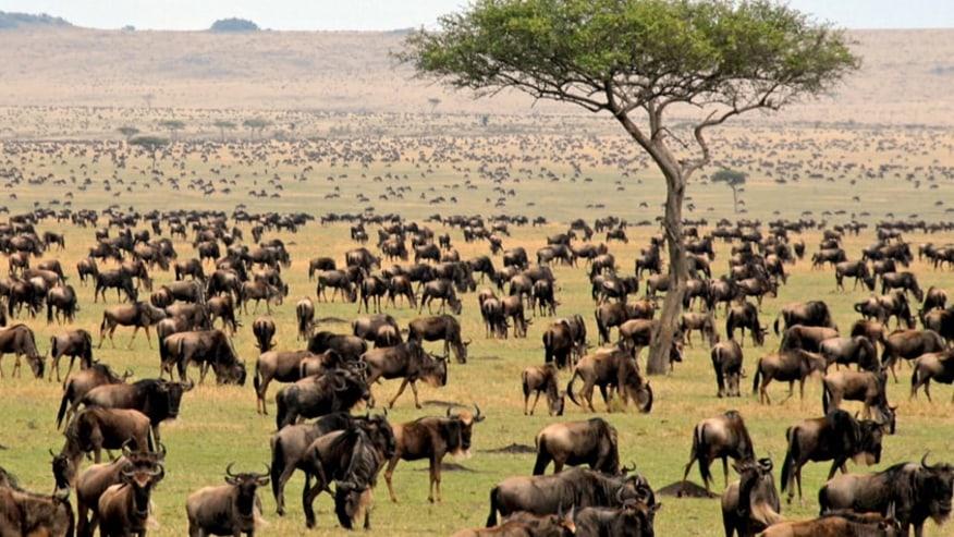 wildebeests grazing