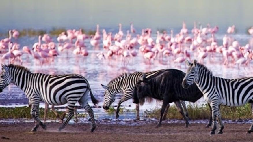 Pink Flamingos, zebras and wildebeest at Nakuru