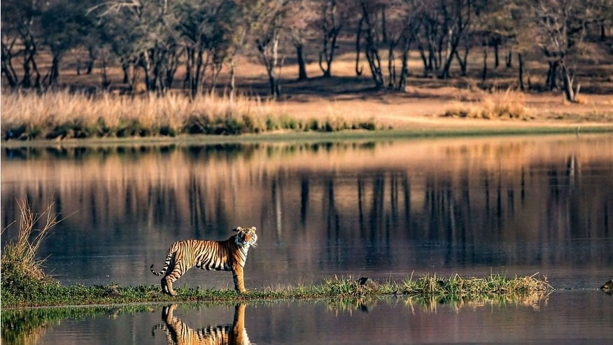 Bengal tiger by the river