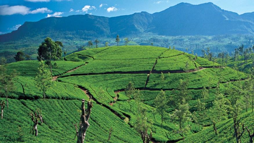 Tea Plantations of Nuwara Eliya