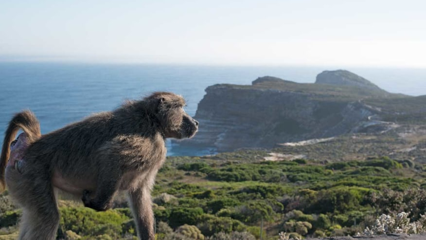 Top of table mountain with baboon in foregorund
