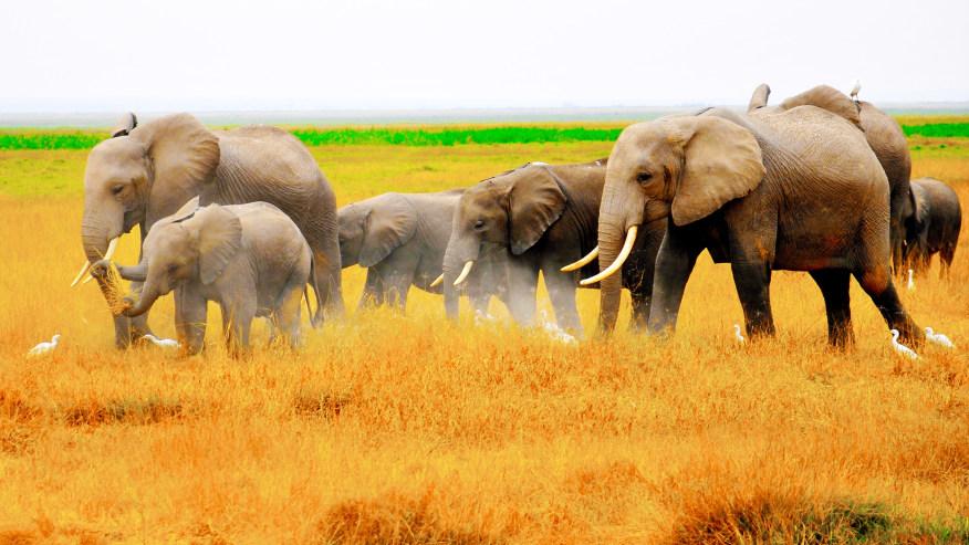 A herd of elephants eating