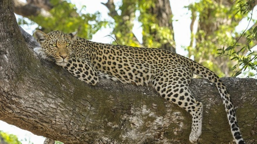 leopard on a tree branch