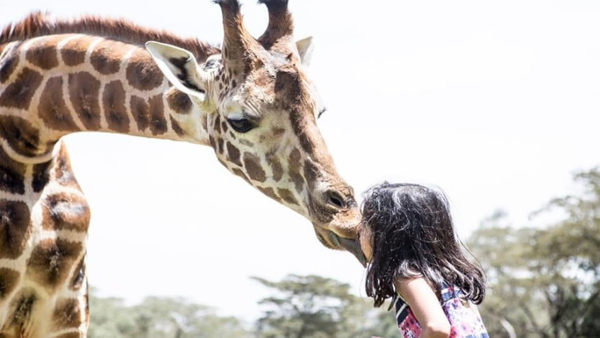 young girl trying to feed girrafe
