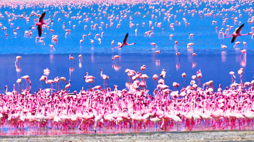 Flamingoes in Lake Nakuru