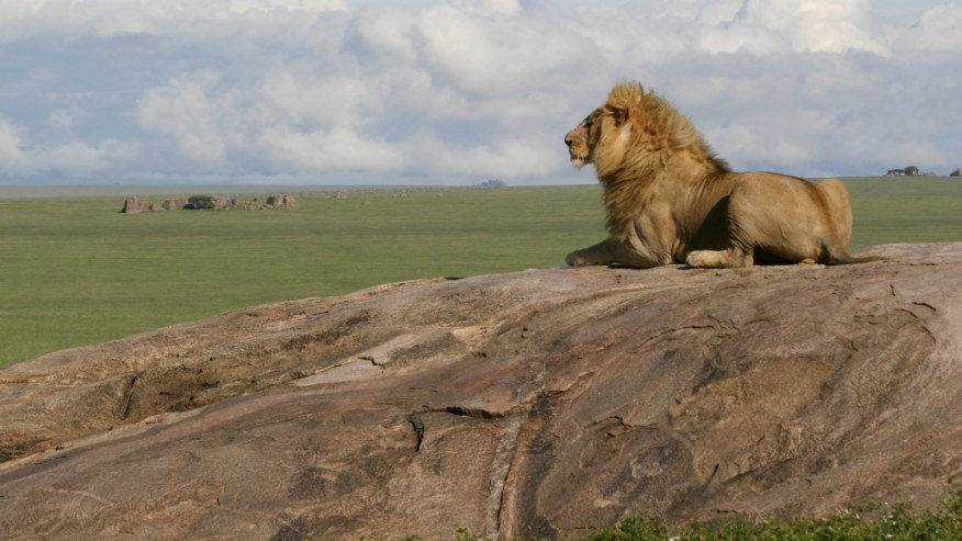 lion resting on the rock