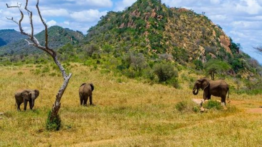 Herd of Elephants grazing the expansive Tsavo West ecosystem