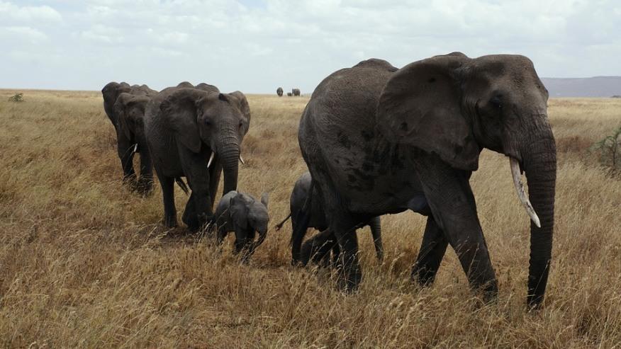 Elephants walking around in Selouse reserve.
