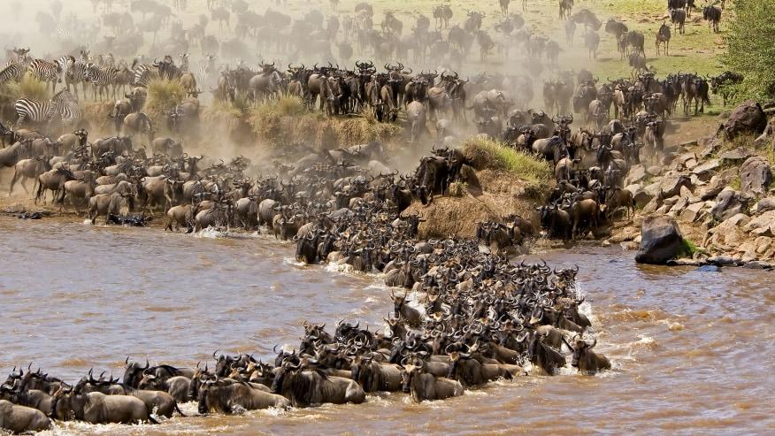 Meet the Wildebeests in Kenya