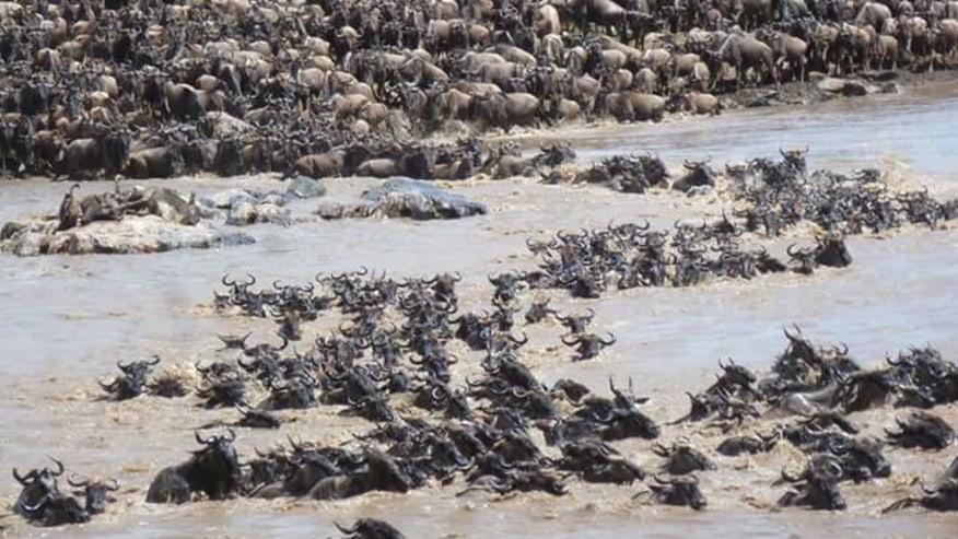 Wildebeests migration - the Mara river
