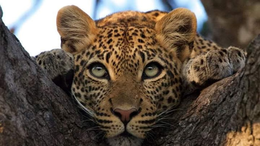 The Elusive Leopard