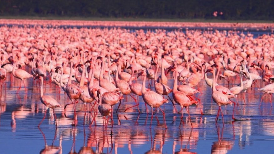 Pink Flamingos of Lake Nakuru