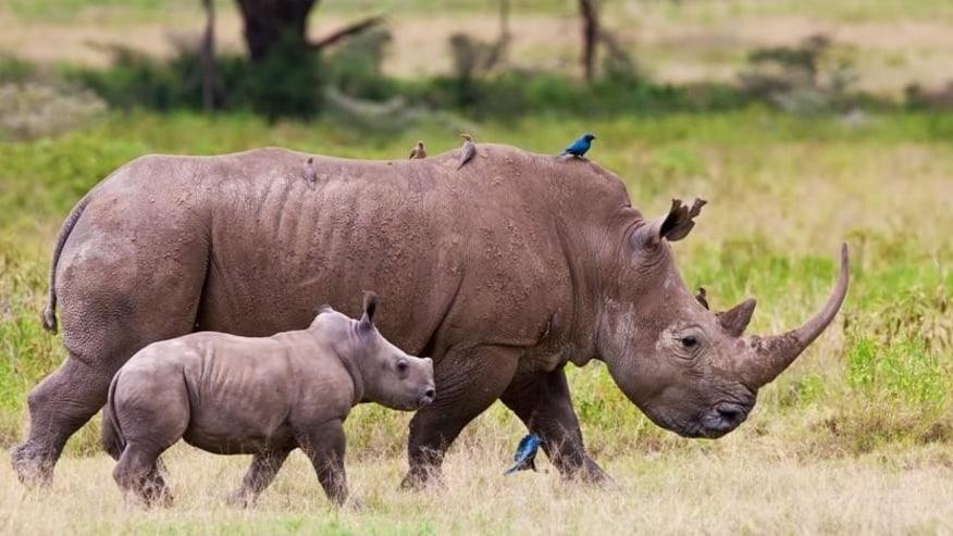 Rhino and the calf, at Lake Nakuru National Park