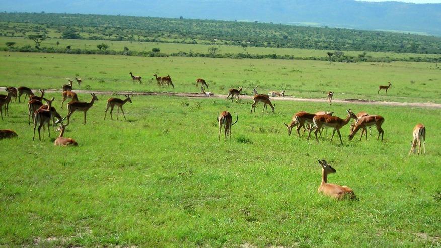 Deers grazing in the savannah