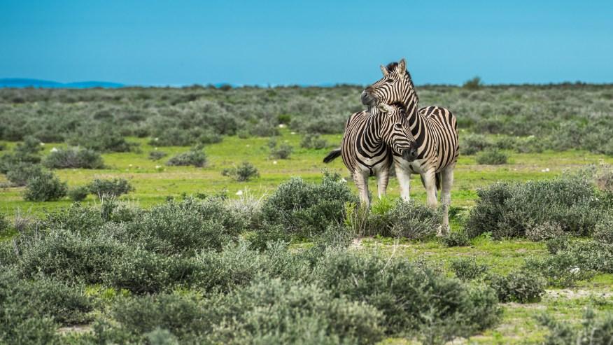 Zebras in the park