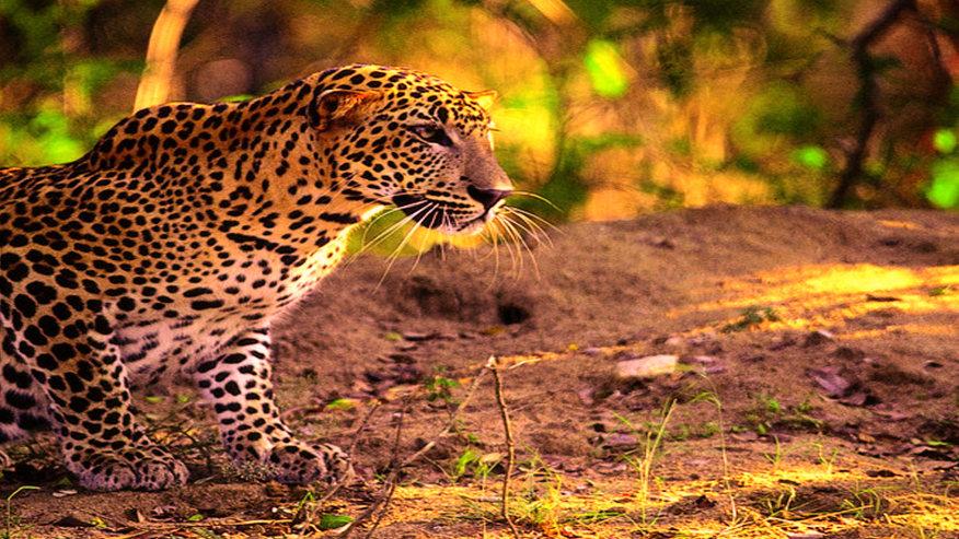 Tiger in Yala National Park