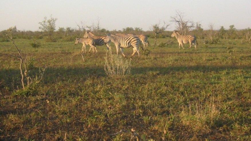 zebras roaming free