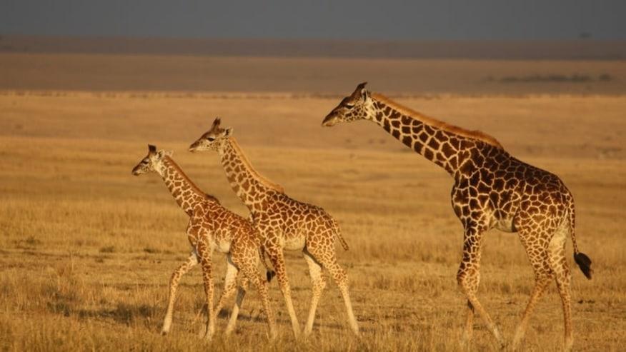 Spot giraffe