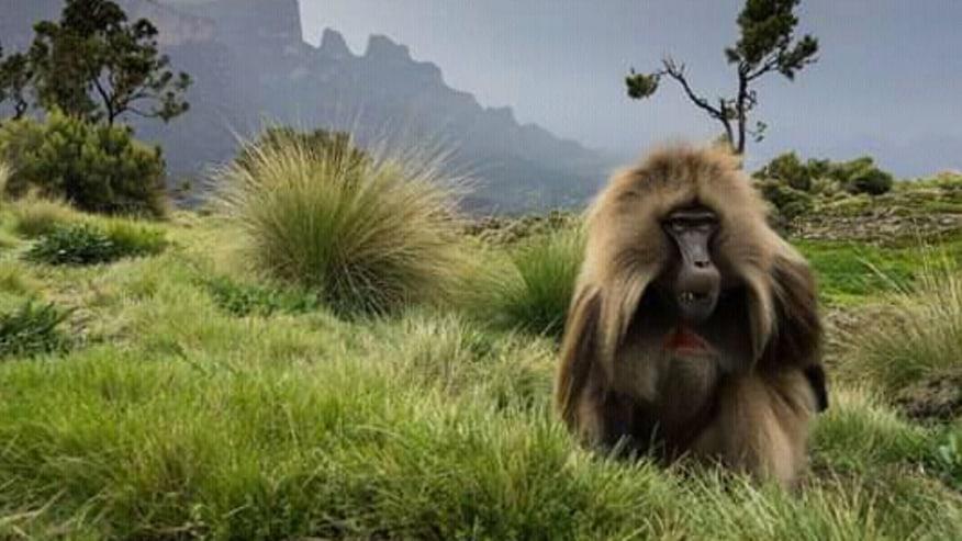 Gelada Baboon on the Simien Mountains