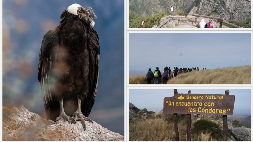 Seek Out the Endangered Andean Condors