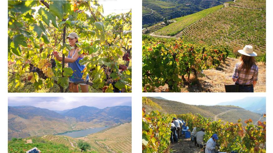 Participate in the Douro Harvest