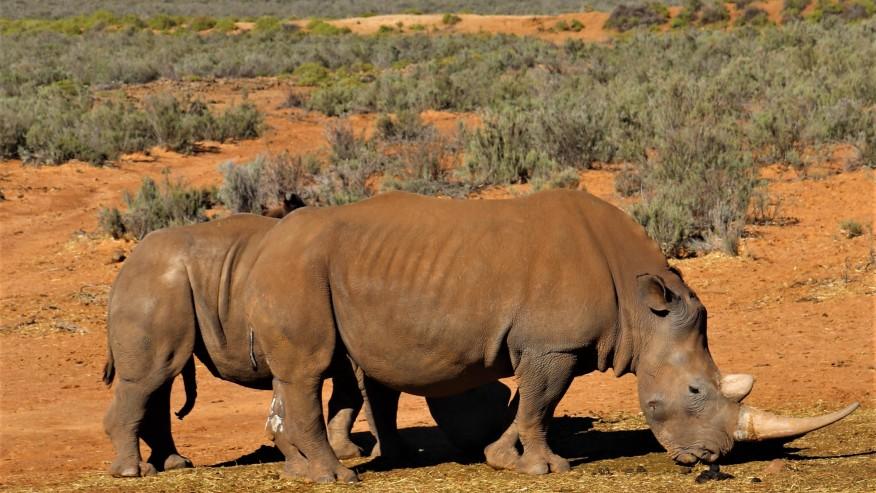 African rhinos sighting