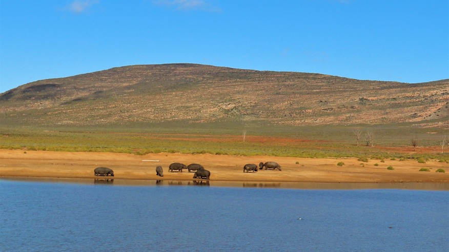 hippos across the river