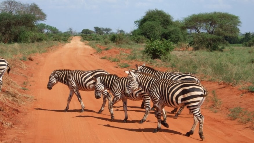 zebras in Tsavo West