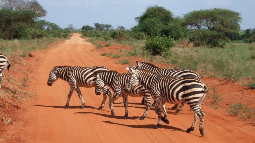 Zebra crossing in Tsavo